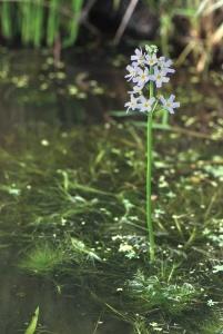 Hottonia_palustris_saint-michel-en-brenne_36_10052008_1 water violet