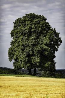 oak-1913194_1920