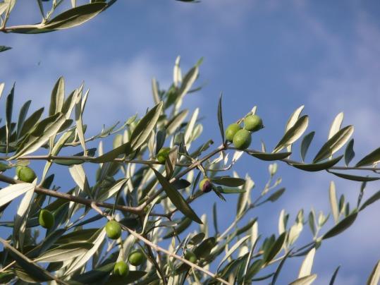 olive-tree-2092564_1920
