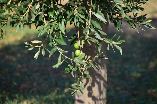 olives-1752190_1920