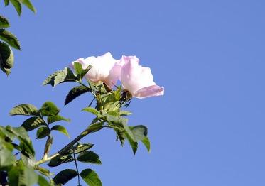 wild-rose-2381707_1920